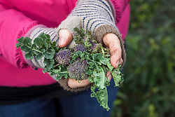 Harvesting purple sprouting broccoli. Brassica oleracea