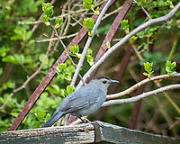 Gray Catbird. Image taken with a D2xs camera and 300 mm f/2.8 VR  lens + 1.4x TC-E II.