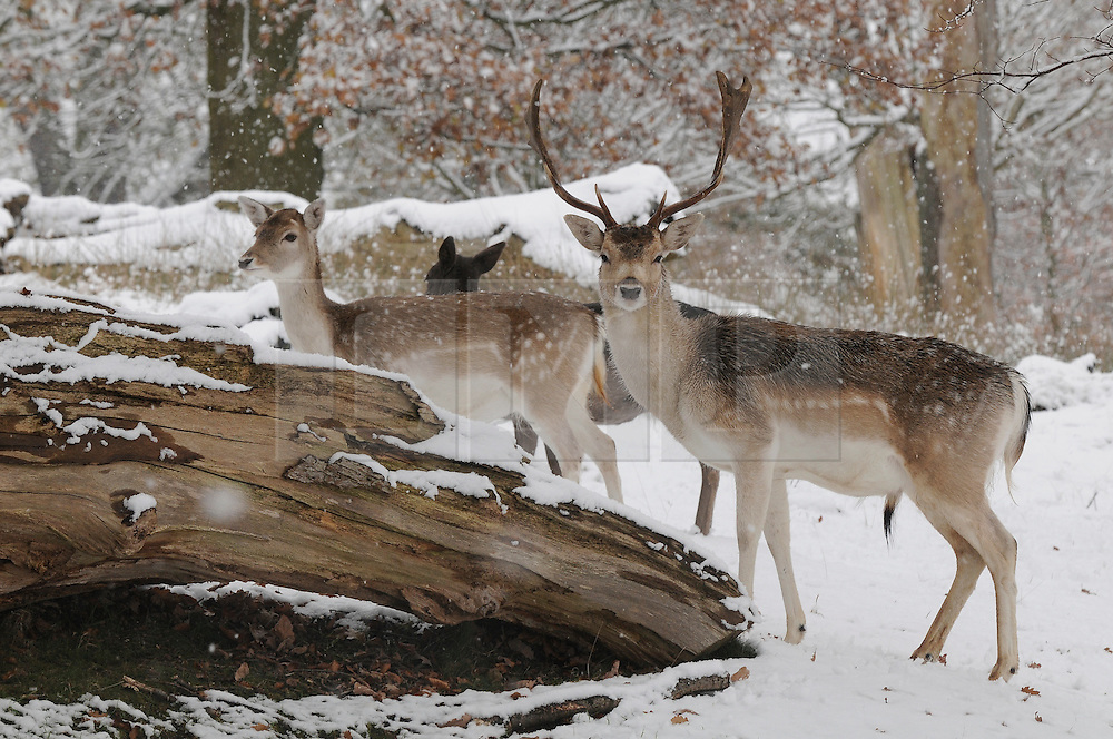 © under license to London News Pictures. 30.11.2010  Stag and deer at Knole Park in Sevenoaks, Kent. today.   Picture credit should read Grant Falvey/London News Pictures