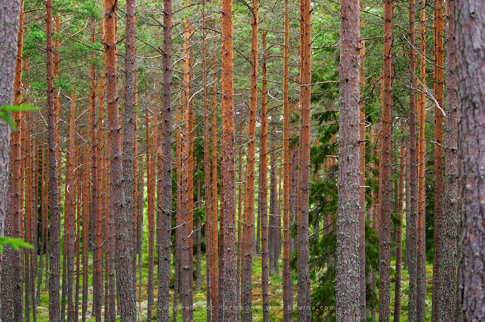 Trunks of pine trees in a forest making a linear pattern. Smaland region. Sweden, Europe.