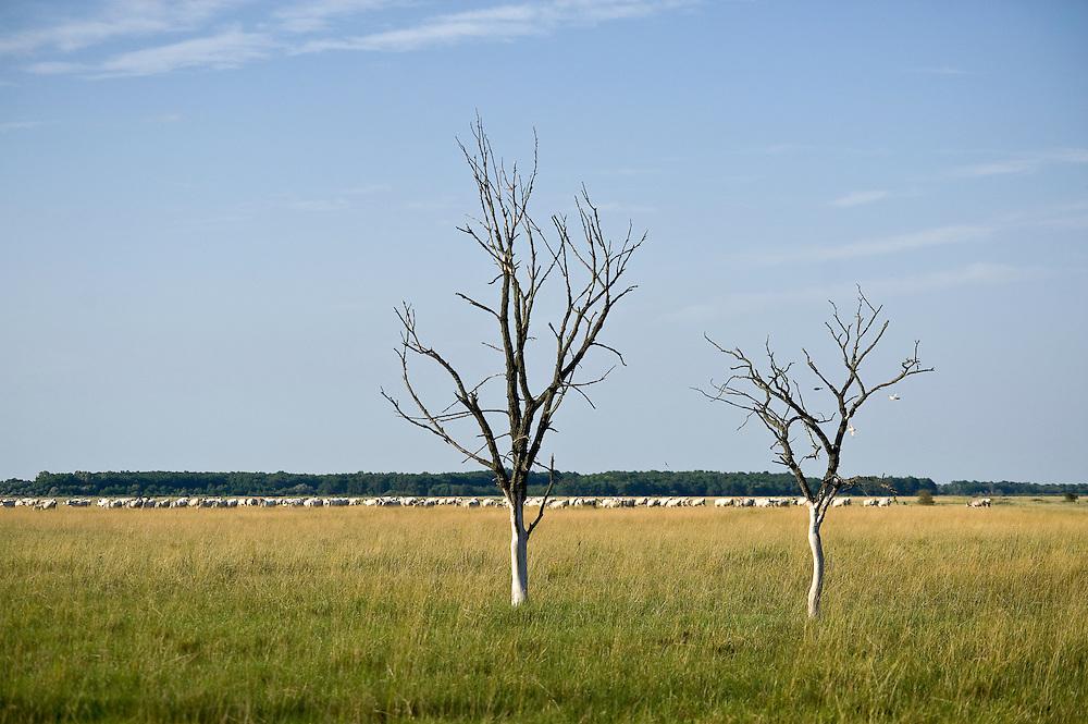 Arid trees on Hortobagy landscape with Hungarian Grey Cattle in the background, Hortobagy National Park, Hungary