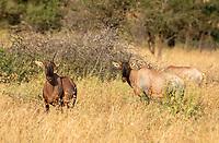 Three Topi, Damaliscus lunatus jimela, in Serengeti National Park, Tanzania