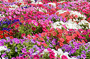 A view of a mass of colourful Petunias flowers growing in a garden at Marsaxlokk Malta in mid-summer