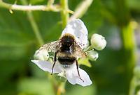 HALFWEG -  AardhommelBombus terrestris . Wilde bloemen op de baan van de   Amsterdamse Golf Club   COPYRIGHT KOEN SUYK