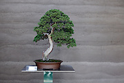 bonsai tree arrangement