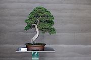 bonsai tree arrangement