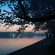 The sky starts to lighten in the east before dawn at the Tidal Basin in Washington DC. The famous cherry blossoms are silhouetted in the foreground.