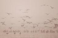 Bean geese (Anser fabalis) wintering at Poyang Ho Lake, Jiangxi province, China
