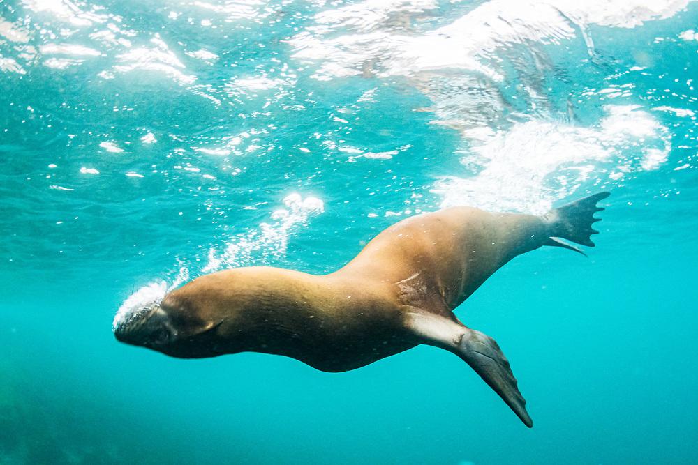 Galapagos Sea Lion (Zalophus californianus wollebacki) blowing bubbles and playing. Isabela Island, Galapagos, Ecuador.