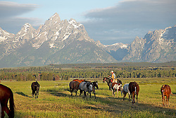 Cowboy rounding up the horses in Jackson Hole Wyoming beneath the Grand Tetons