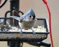 Tufted Titmouse. Image taken with a Nikon D850 camera and 600 mm f/4 VR lens