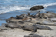 northern elephant seals, Mirounga angustirostris, subadult males basking on beach during annual molt, with several showing multiple scars from bites of cookie cutter sharks and from fights with other males, Piedras Blancas, near San Simeon, California, United States ( Eastern Pacific Ocean )