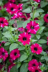 Petunia Littletunia 'Bicolour Illusion'