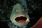 tiger grouper, Mycteroperca tigris, opens <br /> mouth for cleaner  gobies to feed on parasites <br /> at cleaning station at Big Tunnel, West Bay wall,<br /> Cayman Island ( Caribbean Sea )