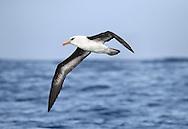 Campbell Island Albatross - Thalassarche impavida