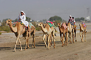 Riders take camels to an early morning training workout for camels at the racetrack in Dubai, United Arab Emirates.