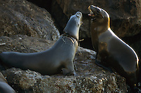 California sea Lions (Zalophus californianus).  Monterey Bay, California.  Oct 2002.