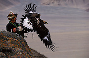 Golden Eagle being Released<br />Aquila chrysaetos<br />Western Mongolia