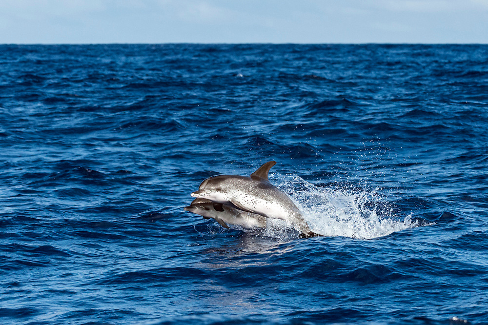 Atlantic Spotted Dolphin, Stenella frontalis, mother and calf, jumping near Pico Island, Azores, Portugal, North Atlantic Ocean.