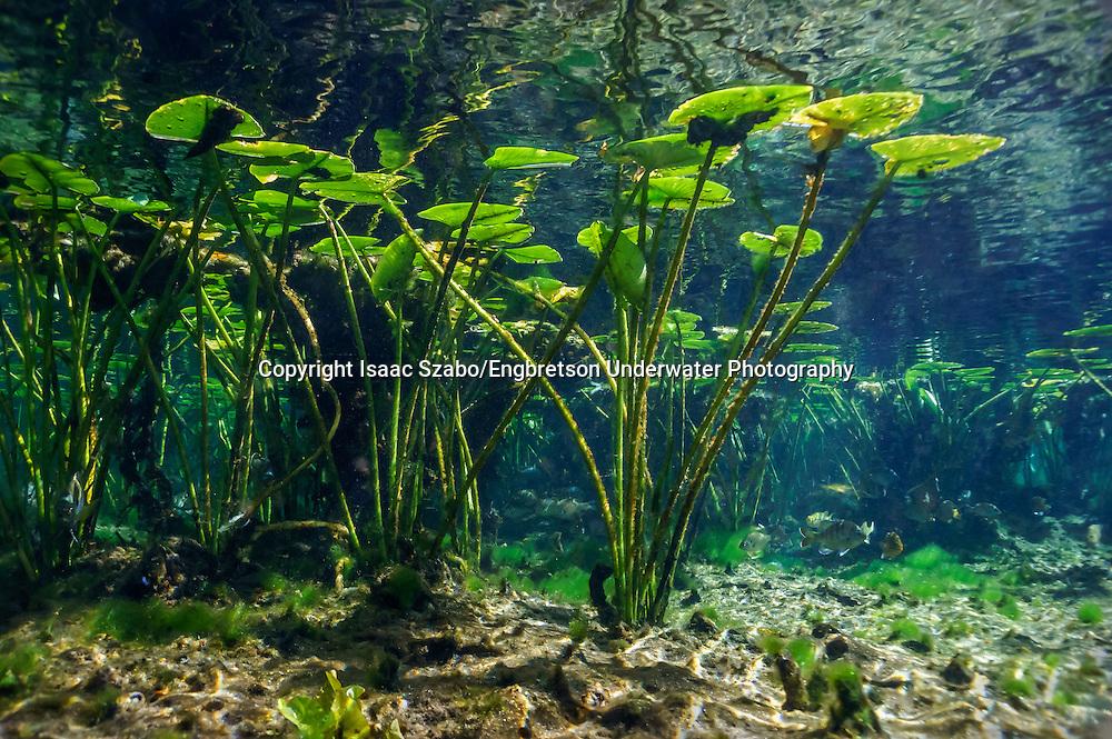 Underwater Scene (Spatterdock); Florida Springs<br /> <br /> Isaac Szabo/Engbretson Underwater Photography