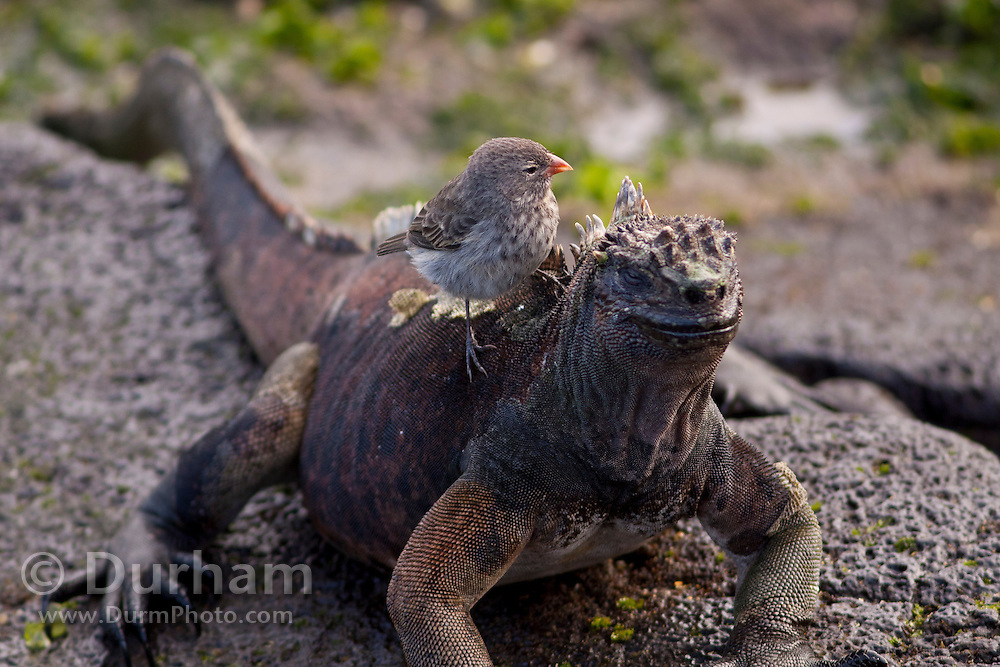A marine iguana (Amblyrhynchus cristatus) with a small ground finch (Geospiza fuliginosa) along the shore of James Bay, Santiago Island, Galapagos Archipelago - Ecuador.