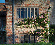 Rosa 'Albertine' a pink climbing rose growing on a wall of the Tudor manor house, Hindringham Hall, Hindringham, Norfolk, UK