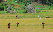 Each bucket load of soil excavated from Liang Bua cave is wet seived in rice paddies outside the cave, recovering tiny fossils and artefacts that would otherwise be overlooked. Discovery site of Flores hobbit, Homo floresiensis.