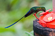 """Tom Dempsey photographed this Violet-tailed Sylph (Aglaiocercus coelestis) hummingbird in Bellavista Cloud Forest Reserve, in the """"Mindo Area of International Importance for Birds,"""" Tandayapa Valley, near Quito, Ecuador, South America. This species is found in Colombia and Ecuador. Males average around 7 inches (18 cm), while females average around 3.8 inches (9.7 cm). The Sylph lives in areas from 300-2100 meters in elevation, though typically above 900 meters."""