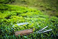 Tea plantations, Munnar in the Western Ghats Mountains, Kerala, India