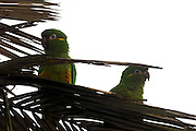 Cerro Tapichalaca Reserve - Monday, Jan 07 2008: A pair of Golden-plumed Parakeets (Leptosittaca branickii) perch on a tree in the Cerro Tapichalaca Reserve near Podocarpus National Park. (Photo by Peter Horrell / http://www.peterhorrell.com)
