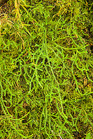 Probably the most common tree moss in the Pacific Northwest, the cat-tail moss can be found from sea level to very high elevations in the mountains. This close up was photographed in the Hoh Rain Forest on the Olympic Peninsula.