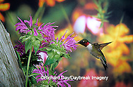 01162-05810 Ruby-throated Hummingbird (Archilochus colubris) male at Bee Balm (Monarda sp.) Shelby Co. IL