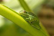 An American Green Treefrog (Hyla cinerea) on a banana leaf in Charleston, SC.