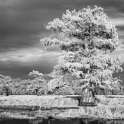 Storm Clouds Over Cypress - Caddo Lake, Texas - Infrared Black & White