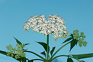 DWARF ELDER Sambucus ebulus (Caprifoliaceae) Height to 2m. Unpleasant-smelling deciduous shrub or small tree with grooved stems. Grows in hedgerows and scrub, and on roadside verges. FLOWERS are 3-5mm across and pinkish white; borne in flat-topped clusters, 8-15cm across (Jun-Aug). FRUITS are black, poisonous berries that are borne in clusters. LEAVES are divided into 7-13 narrow leaflets. STATUS-Widespread but patchily distributed and mainly in the S.