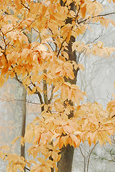 Beech trees hold onto their yellow leaves through the winter.