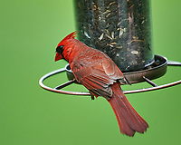 Cardinal at the Bird Feeder. Image taken with a Nikon D4 camera and 600 mm f/4 VR lens
