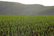 Sao Gotardo_MG, 23 de maio de 2015<br /> <br /> Fotos dos produtores de alho na regiao de sao gotardo.<br /> <br /> Foto: BRUNO MAGALHAES / NITRO