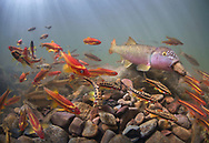 River Chub (building nest) with Saffron Shiners and Mountain Redbelly Dace<br /> <br /> Isaac Szabo/Engbretson Underwater Photography
