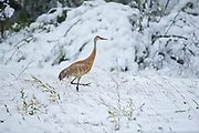 Sandhill cranes (Antigone canadensis) in early snow storm<br />