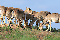 Mission: Saiga.Saigas (Saiga tatarica) on solt licks in the steppe near Cherniye Zemly (Black Earth) Nature Reserve, Kalmykia, Russia, May 2009.Saiga tatarica