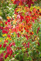 Autumnal combination of Liquidambar styraciflua 'Slender Silhouette' AGM with Helenium 'Moerheim Beauty' AGM, Persicaria amplexicaulis 'Fat Domino'  and Euonymus oxyphyllus AGM