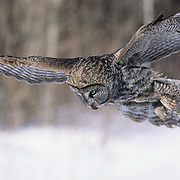Great Gray Owl (Strix nebulosa) adult in flight,  hunting in Canada.
