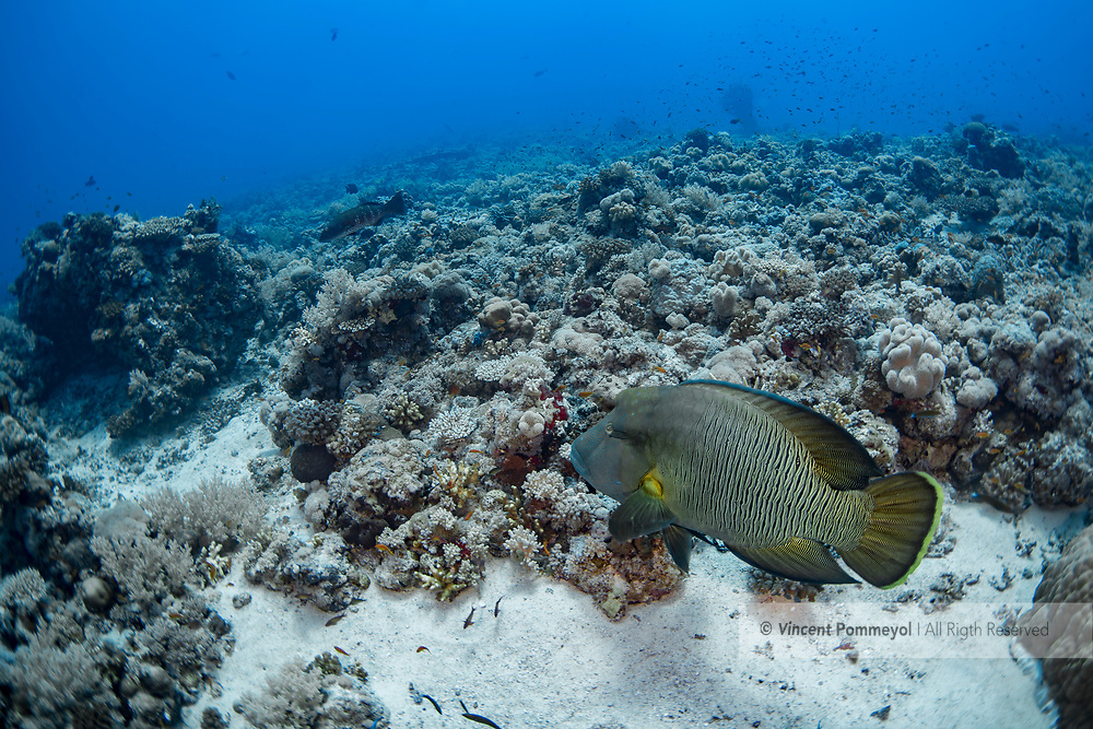 Humphead wrasse-Napoleon (Cheilinus undulatus) of Red Sea, Sudan.