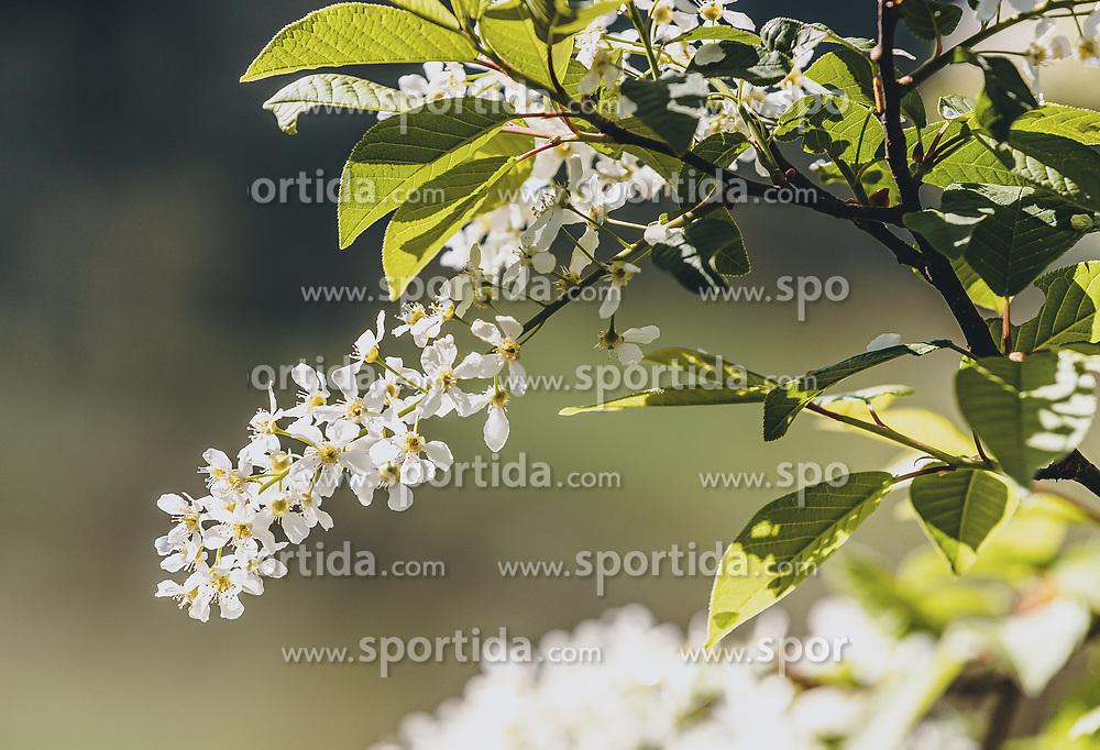THEMENBILD - die weißen Blüten eines wilden Fliederbusch, aufgenommen am 30. April 2020, Kaprun, Österreich // the white flowers of a wild lilac bush on 2020/04/30, Kaprun, Austria. EXPA Pictures © 2020, PhotoCredit: EXPA/ Stefanie Oberhauser