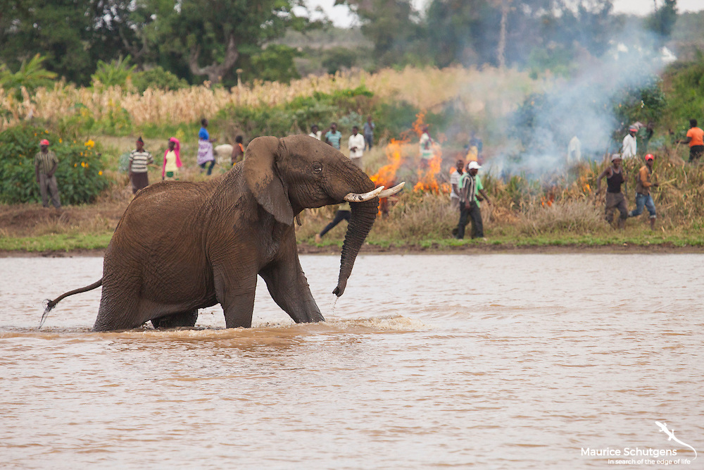 A young bull elephant charges from a dam as fire roars in the background. The reality of human elephant conflict in Laikipia County, Kenya.
