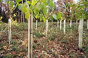 Nederland, Groesbeek, 15-11-2020  Jonge aanplant in een bos. De jonge boompjes worden beschermd door plastic kokers. Foto: ANP/ Hollandse Hoogte/ Flip Franssen