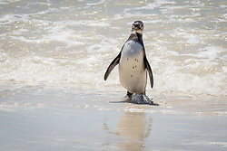 January 3, 2018 - Cape Town, Western Cape, South Africa - A jackass penguin coming in from the surf on Boulders Beach in Simon's Town, South Africa (Credit Image: © Edwin Remsberg / Vwpics/VW Pics via ZUMA Wire)