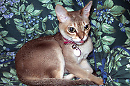 Rockville Centre, New York, U.S. 2003. Singpura cat Daisy, sticks her tongue out a big as she sits on green floral bedspread.
