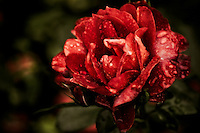 A red rose in full bloom refreshed by a late summer shower.